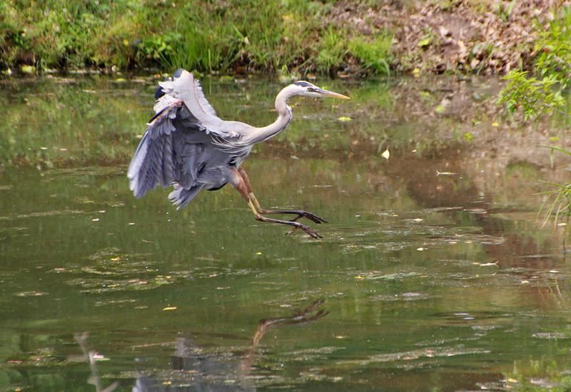Great Blue Heron laning