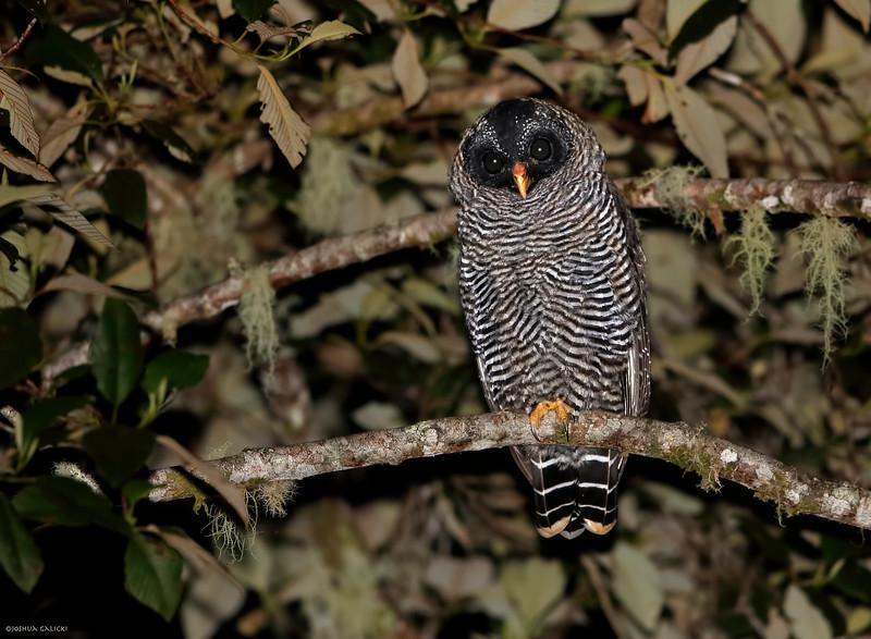San Isidro Mystery Owl