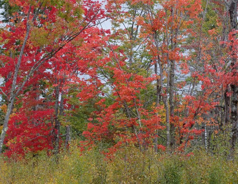 Red Maples along CR133 in Sax-Zim Bog MN IMG_9332.jpg