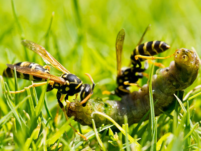 Wasps on a lawn grub