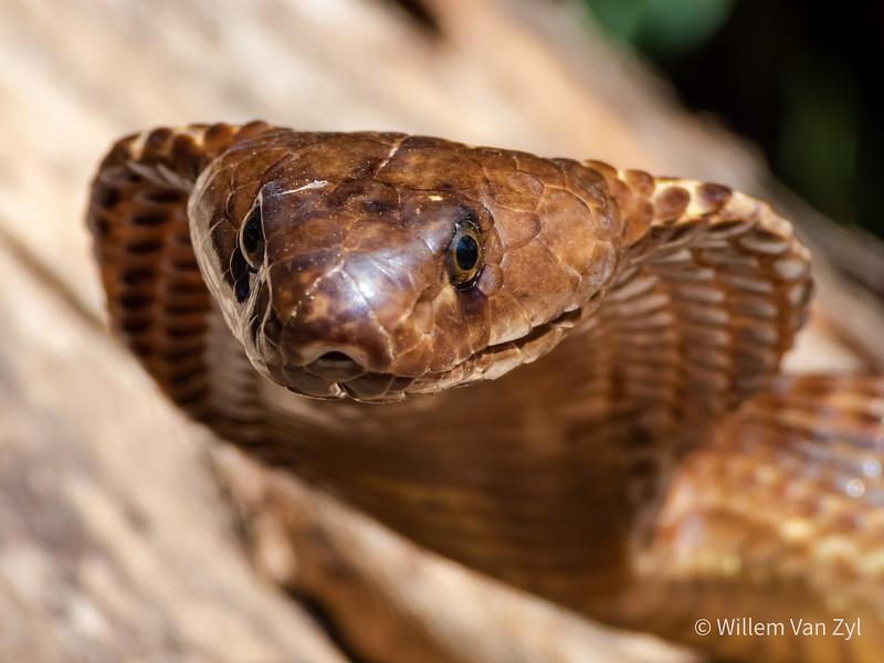 20200229 Cape Cobra (Naja nivea) from Worcester, Western Cape