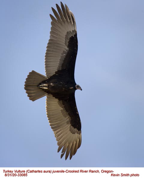 Turkey Vulture J33085.jpg