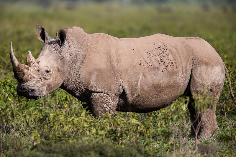 AF1T1155_african_white_rhino.jpg