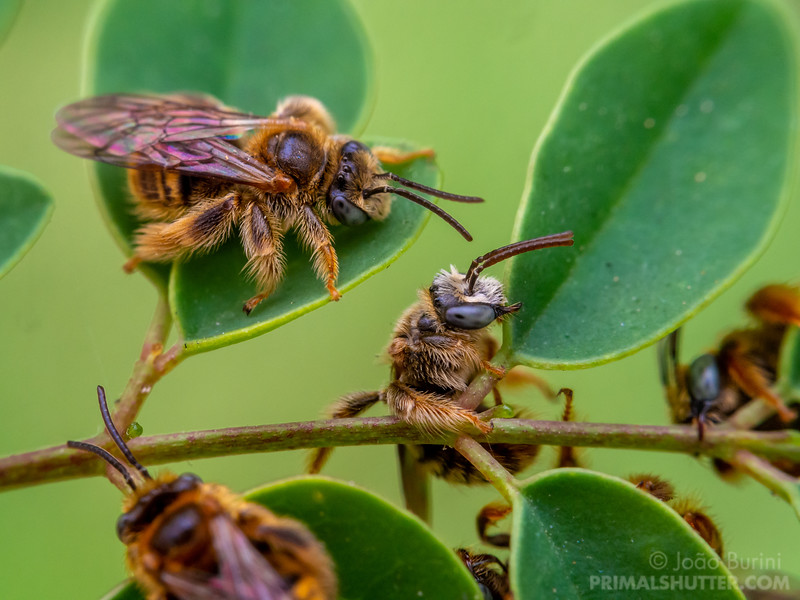 Group of wild bees clinging with their mandibles to leaves