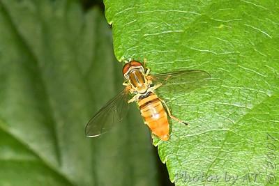 Macro Bees and Wasps
