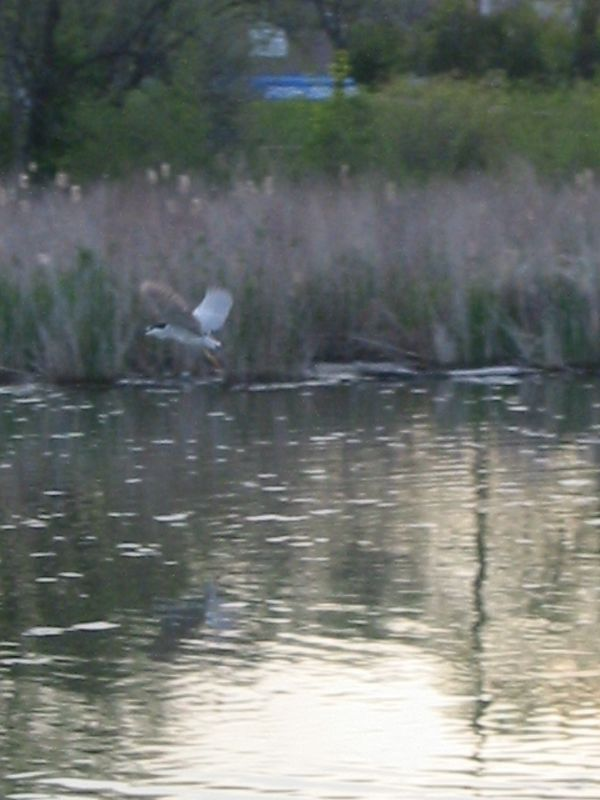 Heron In Flight, Humber Bay Park