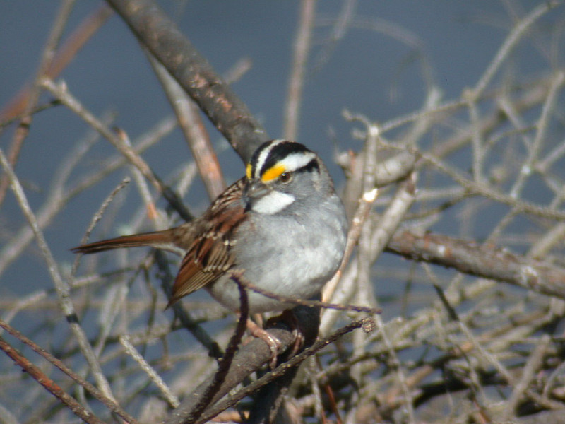 Sparrow - White-throated - Itasca County, MN - 01