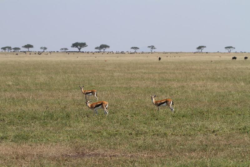 Thompson Gazells on Plain.JPG