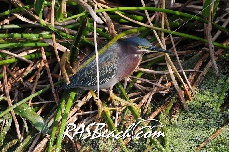 Green Heron_977