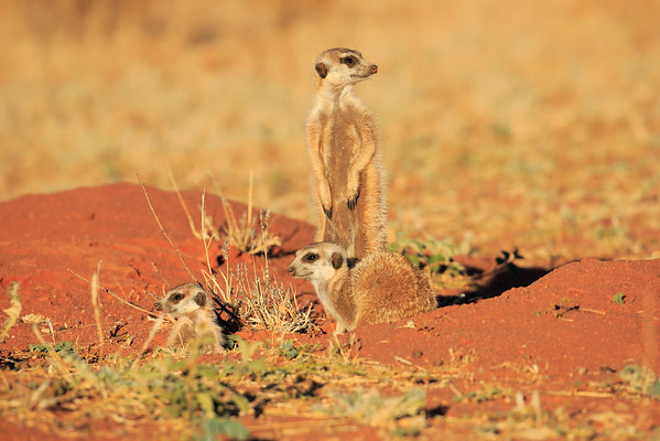 Meerkat Morning Tswalu South Africa 2016