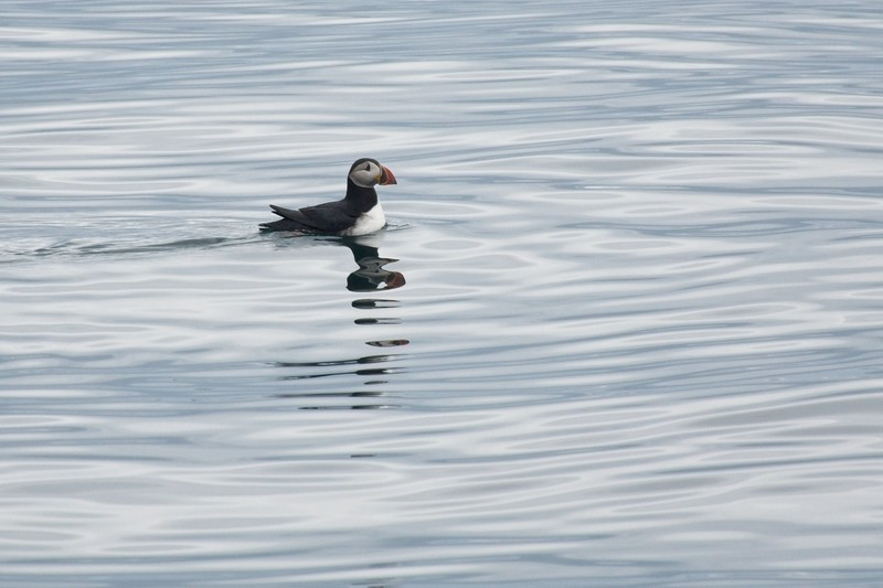 puffin isafjordur 1.jpg