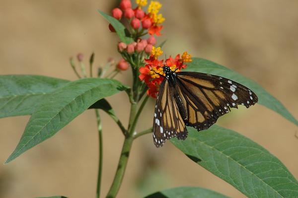 Butteryfly Insect Ecuador