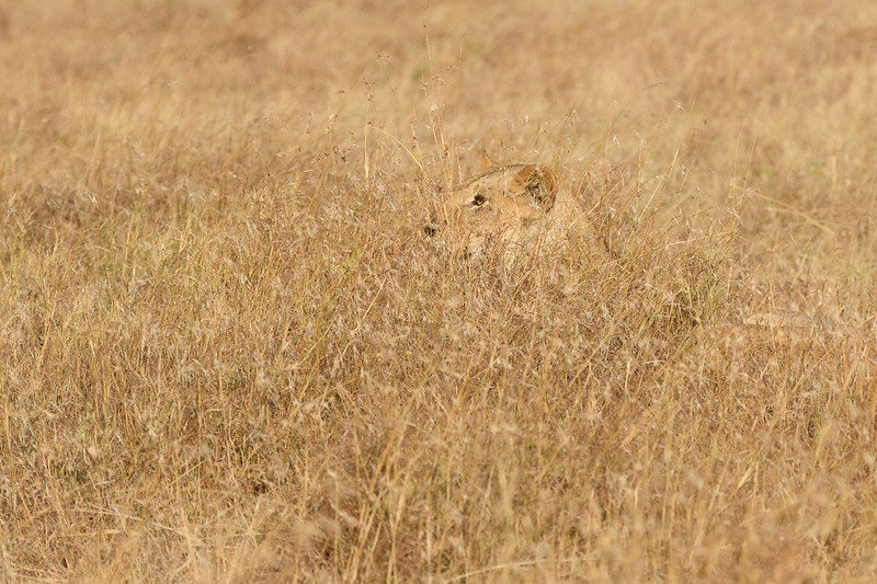 Lioness in the tall grass