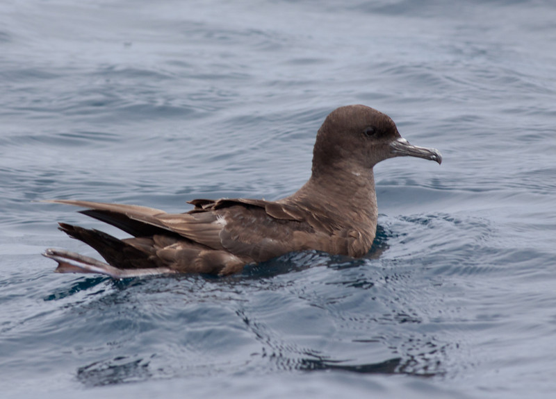 Sooty Shearwater San Diego waters   2010 06 16  -2.CR2