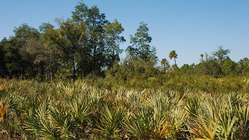 Foreground of saw palmetto background of bayhead