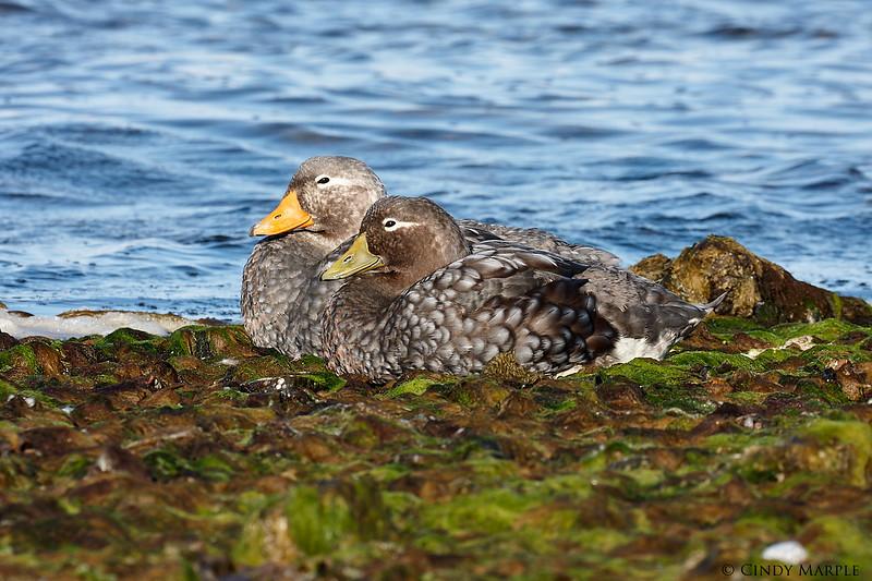 Falkland_Steamer_Duck_5.jpg