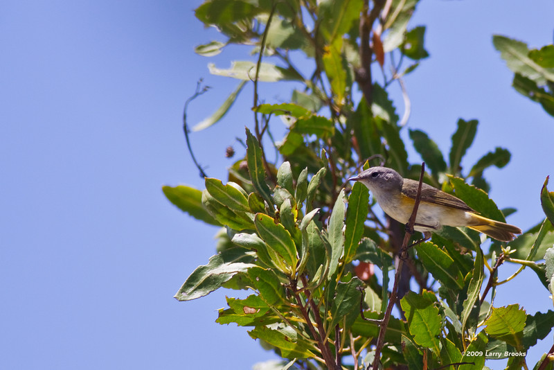 An American Redstart foraging for dinner at the Dry Tortugas