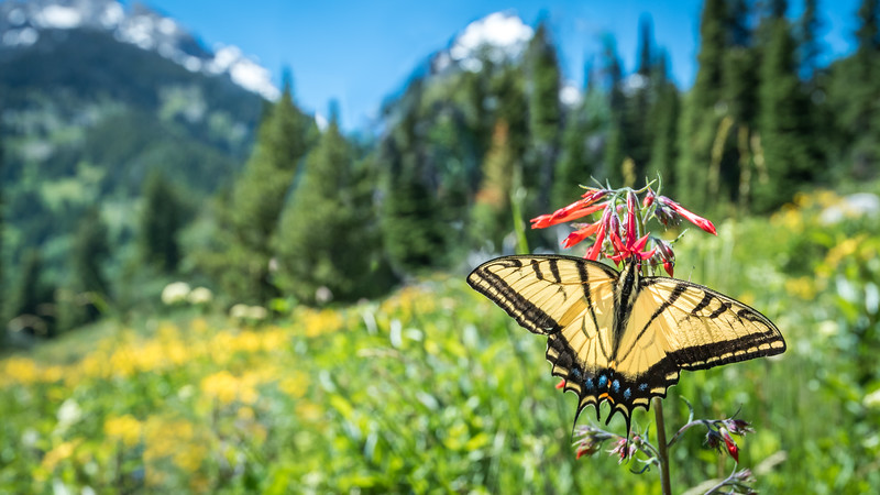 Eastern Tiger Swallowtail in GTNP