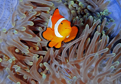 Clown in Blue Anemone