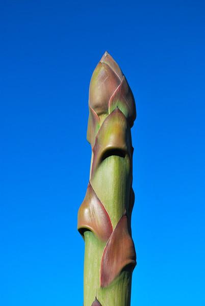 DSC_0074 phallic flower stalk agave.jpg
