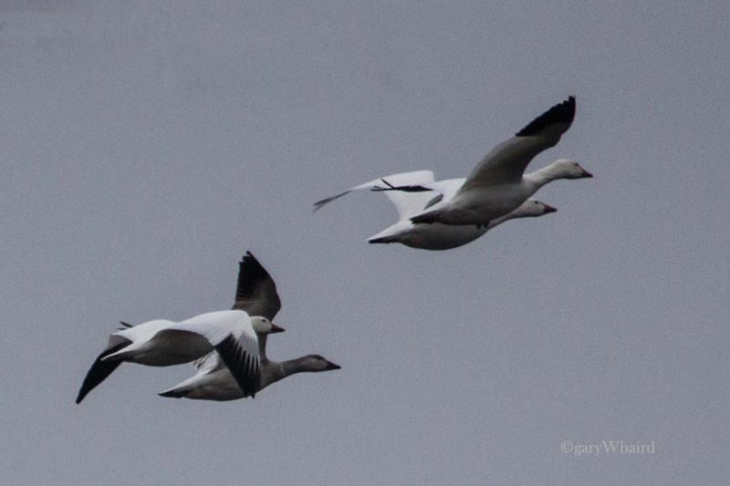 Snow Goose Quartet