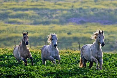 Horses in Israel