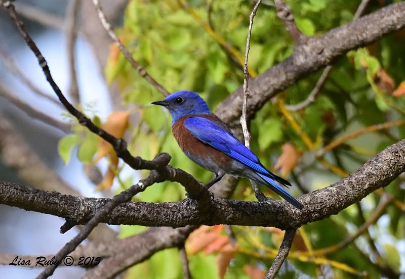Western Bluebird - 3/29/2015 - Greenwood Cemetery