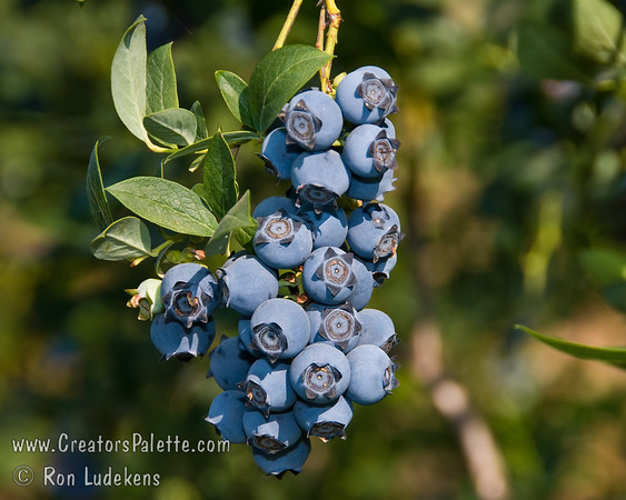 Star Blueberries (Vaccinium hybrid)
