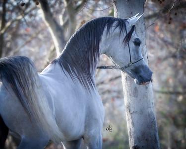 Mindy Peters Arabians