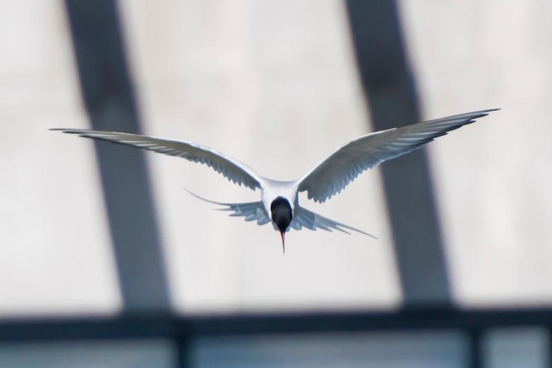 Arctic Tern - Reykjavik, Iceland