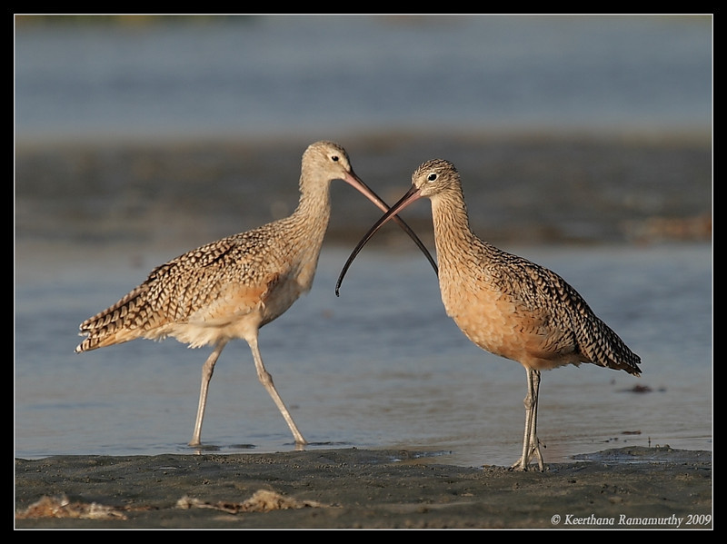 Long billed curlews, Robb Field, San Diego River, San Diego County, California, September 2009