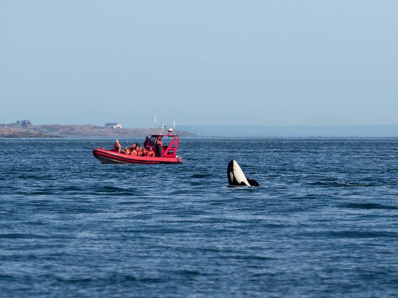 Orcas-8020835.jpg