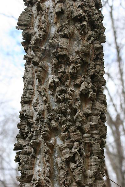 sugar hackberry tree in Duke Forest