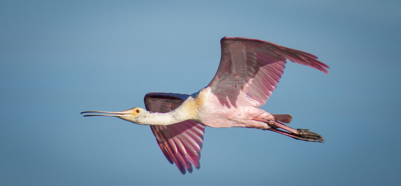 Spoonbill returning to the mainland