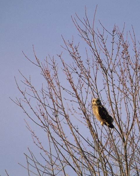 Short-Eared Owl from Otto Armelleder Memorial Park, Cincinnati, OH