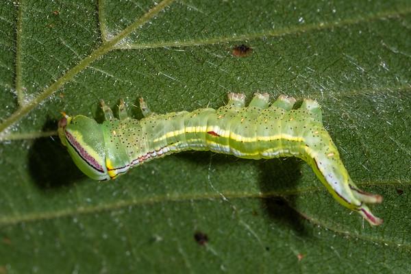 Heterocampa guttivitta - Saddled prominent (USA)