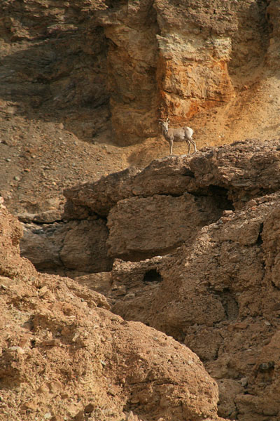 Female Big Horn Sheep - Badwater Basin Death Valley