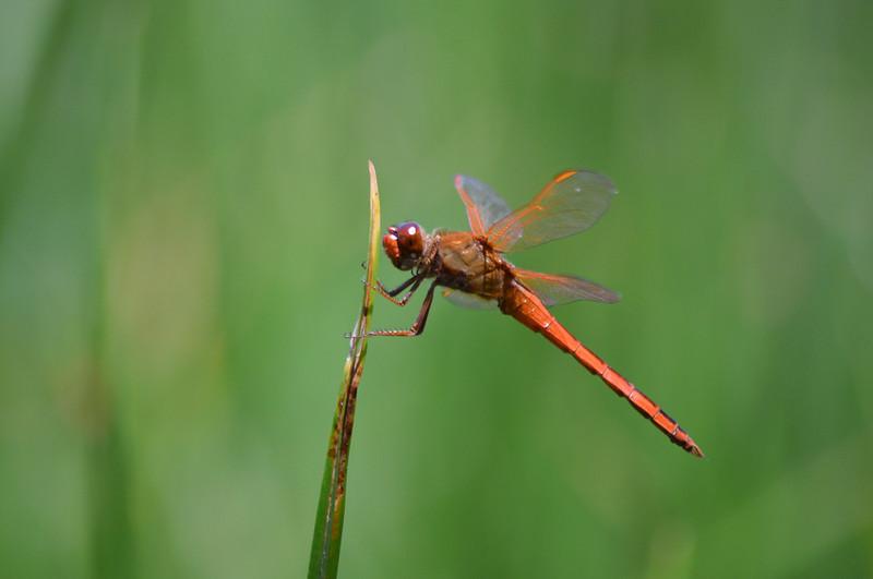 red-dragonfly-naturalhistorian-1600px.jpg