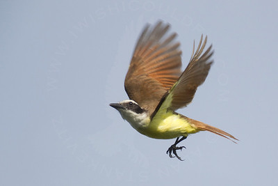Kiskadee, Great
