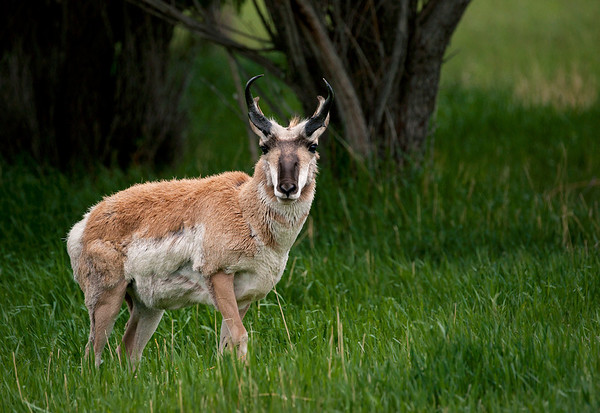Pronghorns in Yellowstone and Vicinity