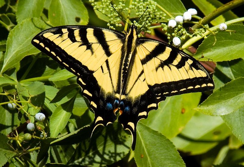 Butterflies_Swallowtail-1.jpg