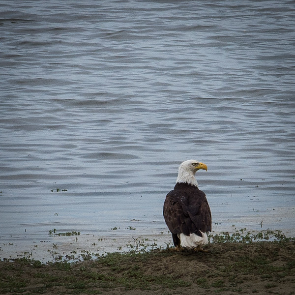 20170509-Bald Eagle-PMG_5279.jpg
