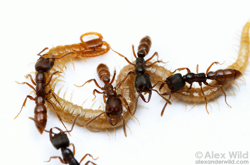 Predatory Stigmatomma oregonensis workers cluster about a centipede they have paralyzed.  Quincy, California, USA