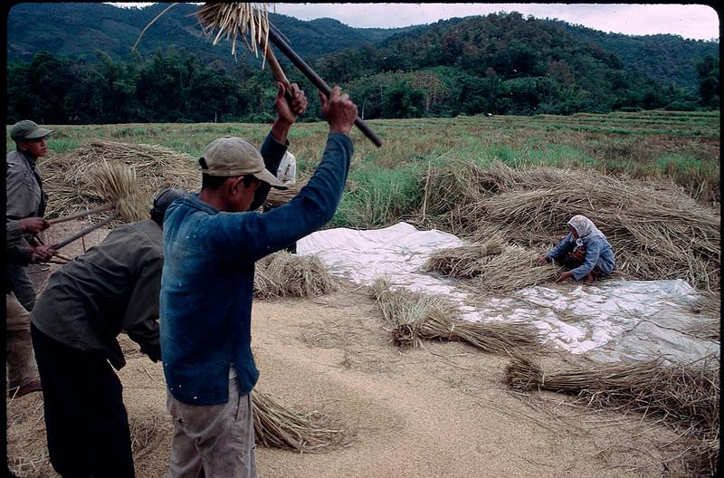 beating rice
