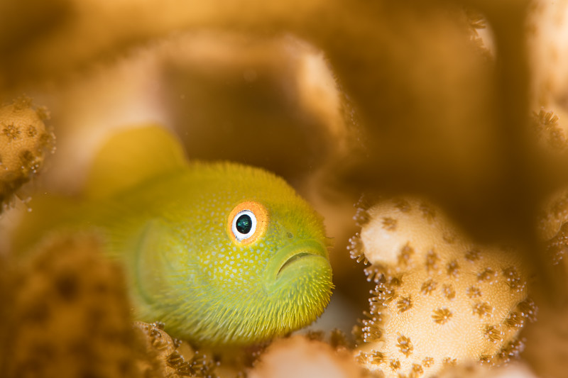 Bearded Goby-symbiosis (1 of 1).jpg