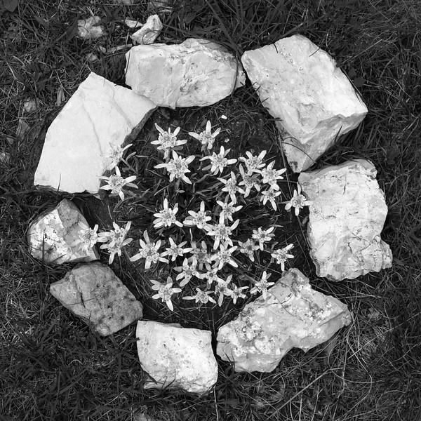 Edelweiss - Monte Zugna, Rovereto, Trento, Italy - July 20, 2014