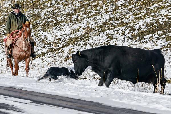 10-13-18 Cowboy - Catlle Drive