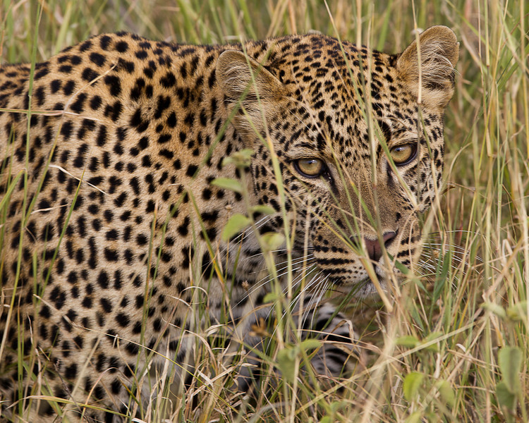 leopard in the grass close.jpg