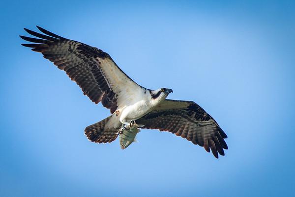 Birds of Longboat Key-Sarasota