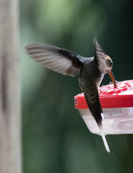 19-Sept Brazil Birds-9027.JPG